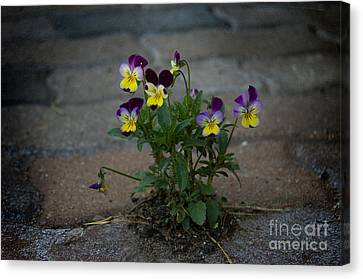 Tenacity Comes In Small Packages Canvas Print by The Stone Age