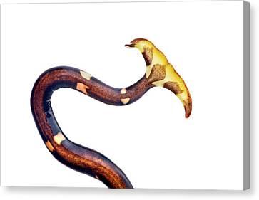 Terrestrial Flatworm Canvas Print by Alex Hyde