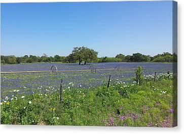 Texas Blue Bonnets Canvas Print by Shawn Marlow