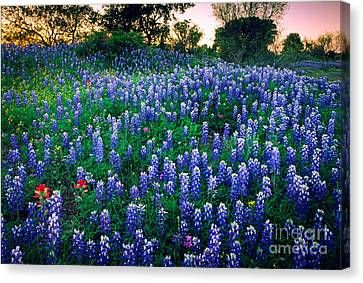 Texas Bluebonnet Field Canvas Print by Inge Johnsson