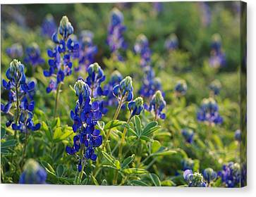 Texas Bluebonnets In Early Sun Canvas Print by Lisa  Spencer