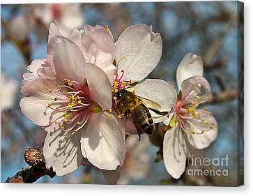 The Almond Blossom Canvas Print by English Landscapes