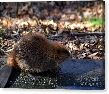 The Beaver Canvas Print by Eva Thomas