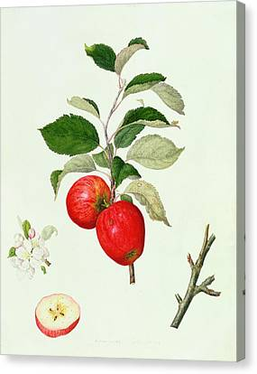 The Belle Scarlet Apple Canvas Print by Barbara Cotton