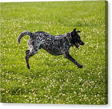 The Cattle Dog Ballet  Canvas Print by Howard Tenke