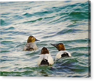 The Chase Canvasback Ducks Canvas Print by LeeAnn McLaneGoetz McLaneGoetzStudioLLCcom