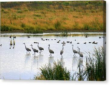 The Dance Of The Sandhill Cranes Canvas Print by Kay Novy