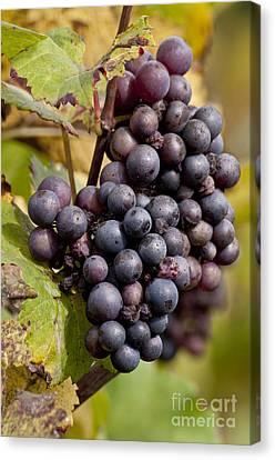 The End Of Grape Harvest Canvas Print by Simona Ghidini