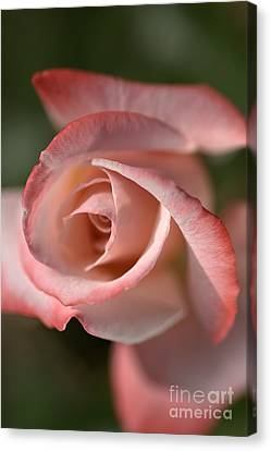 The Eye Of The Rose Canvas Print by Joy Watson