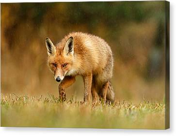 The Hunter In The Rain - Red Fox On A Rainy Day Canvas Print by Roeselien Raimond