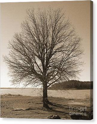The Last Oak Canvas Print by R McLellan