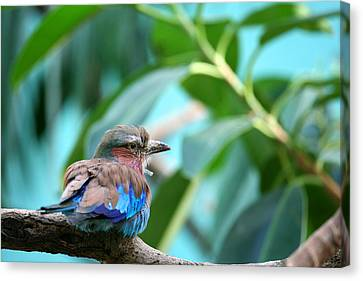 The Lilac Breasted Roller Canvas Print by Karol Livote