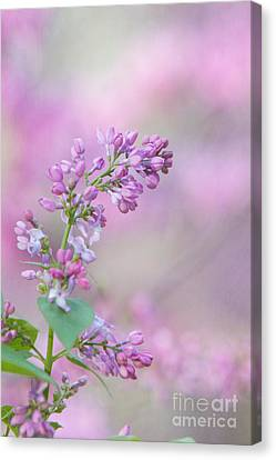 The Lilac Canvas Print by Kay Pickens