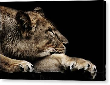 The Lion Sleeps Tonight Canvas Print by Martin Newman