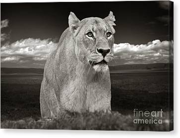 The Lioness Canvas Print by Christine Sponchia