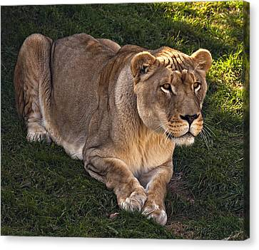 The Lioness Canvas Print by Steve Harrington