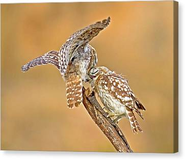 The Little Owl Athene Noctua Canvas Print by Photostock-israel
