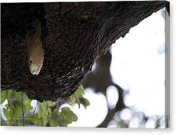 The Live Oak Canvas Print by Shawn Marlow