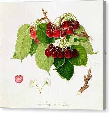 The May Duke Cherry Canvas Print by William Hooker