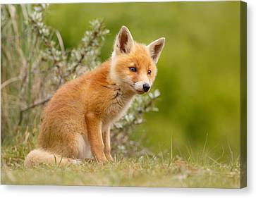 The New Kit ...curious Red Fox Cub Canvas Print by Roeselien Raimond