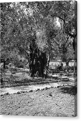 The Olive Tree At Gethsemane Canvas Print by Sandra Pena de Ortiz