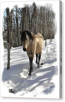 The Paso Fino Stallion Named Brio Canvas Print by Patricia Keller