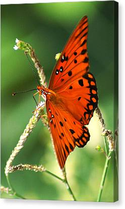 The Passion Butterfly Canvas Print by Kim Pate