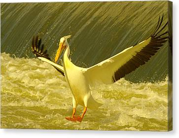 The Pelican Lands Canvas Print by Jeff Swan
