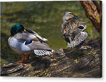 The Perfect Mallard Couple Canvas Print by Sandi OReilly