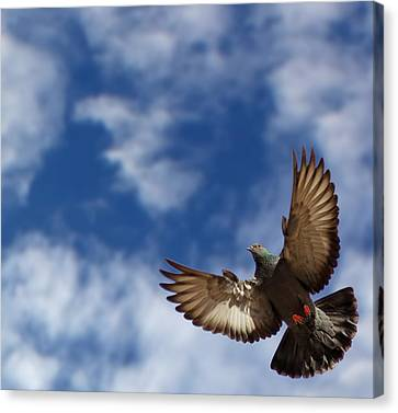 The Pigeon In Flight On A Background Of The Blue Sky Canvas Print by MQ Naufal