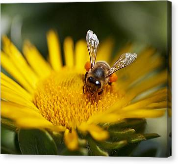 The Pollinator Canvas Print by Rona Black
