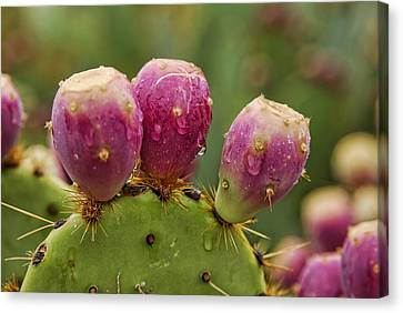 The Prickly Pear  Canvas Print by Saija  Lehtonen