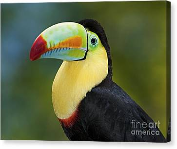 The Rainbow Bird.. Canvas Print by Nina Stavlund