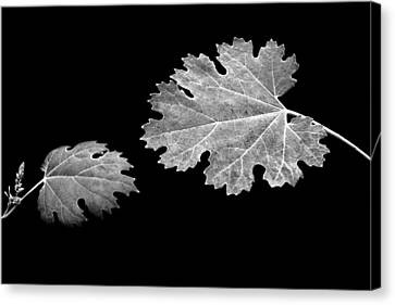 The Reach - Grape Leaf Anemone - Leaves - Black Background Canvas Print by Nikolyn McDonald