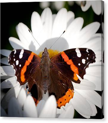 The Red Admiral Butterfly Canvas Print by David Patterson