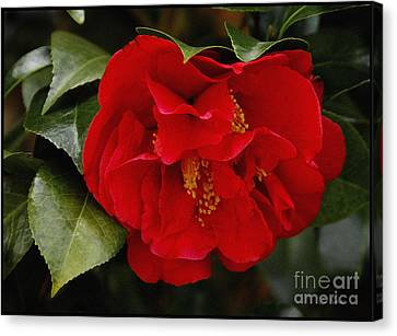 The Red Camellia  Canvas Print by James C Thomas
