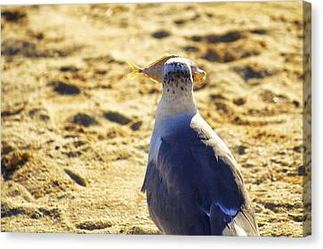 The Seagull And His Sand-crusted Fish 3 Of 3 Canvas Print by Jason Politte