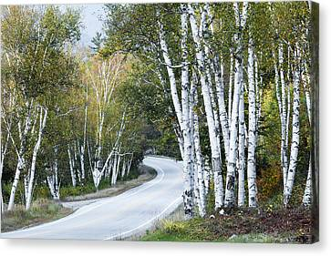 The Shelburne Birches Canvas Print by Harry H Hicklin