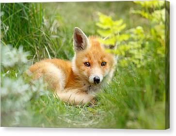 The Shy Kit Fox Cub Hiding Behind Some Ferns Canvas Print by Roeselien Raimond