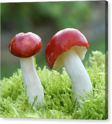 The Sickener Fungus Canvas Print by Nigel Downer