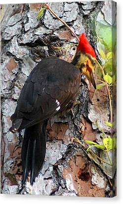 The Southeastern Pileated Woodpecker Canvas Print by Kim Pate