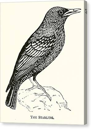 The Starling Canvas Print by English School