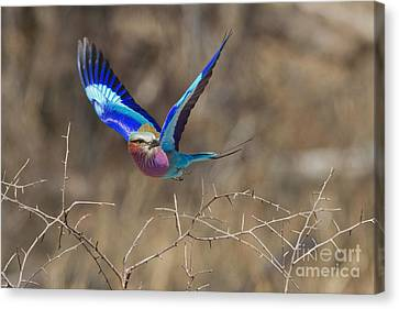 The Takeoff Canvas Print by Ashley Vincent