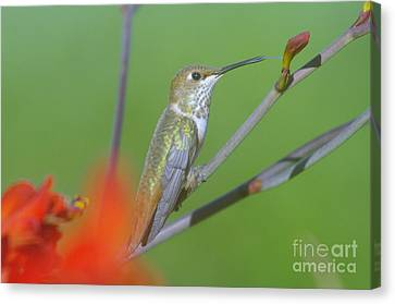 The Tongue Of A Humming Bird  Canvas Print by Jeff Swan
