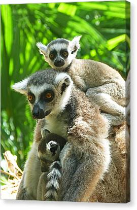 The Twins - Ring-tailed Lemurs Canvas Print by Margaret Saheed