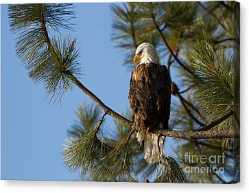 The Watchman Canvas Print by Beve Brown-Clark Photography