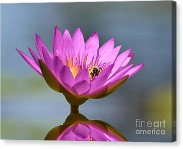 The Water Lily And The Bee Canvas Print by Kathy Baccari