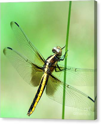 The Wings Of A Dragon Canvas Print by Optical Playground By MP Ray