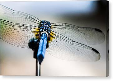 The Wings Of A Dragonfly Canvas Print by Shelby  Young