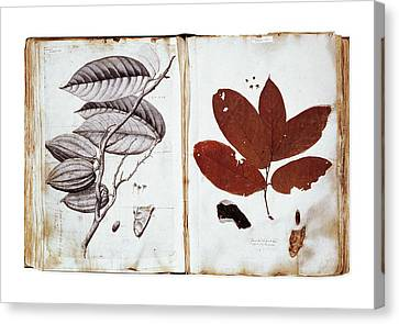 Theobroma Cacao Canvas Print by Natural History Museum, London